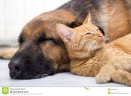dog and cat sleeping together.  Sleeping Download Cat And Dog Sleeping Together Stock Photo  Image Of Cats Animal  34816218 To N