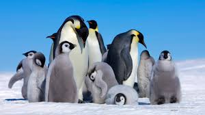 baby emperor penguins swimming. Modren Baby Emperor Penguin U2013 The Big Huddle Throughout Baby Penguins Swimming E