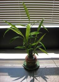 Lucky Bamboo Indoor Plant Care. Often, you will ...