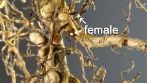 Soil Sampling For Soybean Cyst Nematodes To Prevent