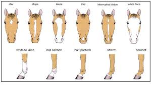 Horse Color And Markings Chart Horse Markings Chart