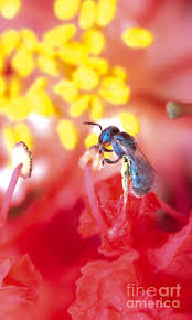 Sweat Bee Red Flower Photograph by Aubrey Moat