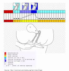 Cervical Fluid Chart How To Check Your Cervical Position With Pictures Babycenter
