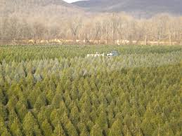 About Our Christmas Trees | Evergreen Valley Christmas Tree Farm ...