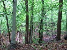 camping in the woods. In The Woods: Tall Trees, Ground Covered With Leaves. Near My Campsite Camping Woods L