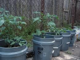 bucket gardening. Vegetables In A 5-Gallon Bucket: How To Grow Bucket. Container Gardens Bucket Gardening