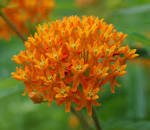 Images & Illustrations of butterfly weed