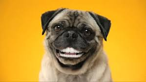 pug gif. Beautiful Gif Dog Smile GIF In Pug Gif A