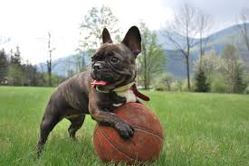 Image result for French Bulldog - Fundamental Facts You Ought To Know