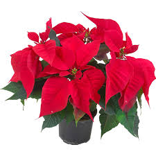 Weihnachtsstern Princettia Pure Weiß Topf ø Ca 13 Cm Euphorbia Pulcherrima