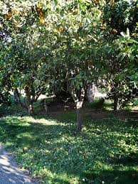 Glenn Mango Tree For Sale  Fast Growing TreesUnderplanting Fruit Trees