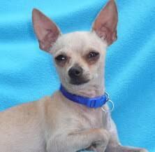 name puppy adoption pending chihuahua