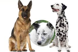 German Shepherd And Dalmatian Breed Comparison Mix