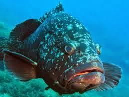 Resultado de imagen para pez mero gigante