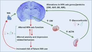 Frontiers Methamphetamine And The Hypothalamic Pituitary Adrenal