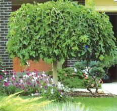 Dwarf Weeping Mulberry  Edible LandscapingTeas Weeping Fruiting Mulberry Tree