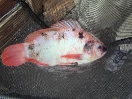 aquaponic gardening. fish in net aquaponic gardening p