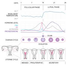 Fsh Levels Menopause Chart Follicular Phase Wikipedia