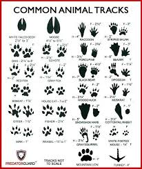 How To Identify Signs Of Wild Animals Inspecting Tracks