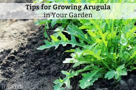 tips for growing arugula in your garden jpg
