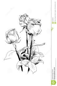 A Bouquet Of Roses Drawn In Ink By Hand Stock Vector Illustration