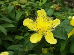 the flower of a st john s wort plant hyperi calycinum