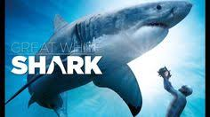 wildlife doentary sharks doentaries discovery channel s you shark discovery