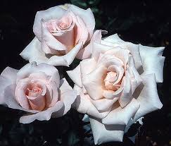 michelle meilland hybrid tea 1945 3 to 4 feet blooms repeatedly this is one of those hybrid teas that has a color difficult to describe pale pink