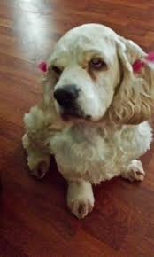 hi my name is sara and i am a 12 year old cocker spaniel my mom thinks i am special because even