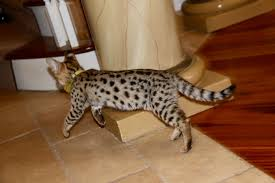 savannah cats for f3