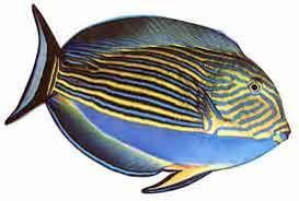Samoan Fish Chart Samoa Guide 13 The Alogo Surgeonfish