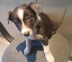 border collie puppy long um or