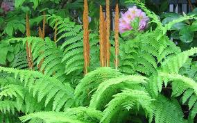 types of outdoor ferns. cinnamon ferns types of outdoor