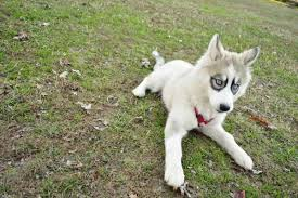 black and white spotted german shepherd. Delighful White This Dog Is A Panda German Shepherd Shepherds Come From  Single Bloodline Which Does Not Include White Shepherds To Black And Spotted Shepherd