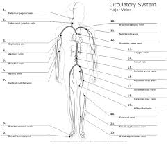 Circulatory System Diagram Cardiovascular System And Blood