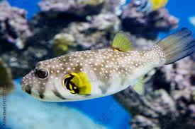starry fish puffer fish it has a