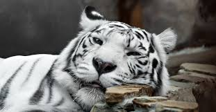 baby white tigers in water. Beautiful Tigers To Baby White Tigers In Water E