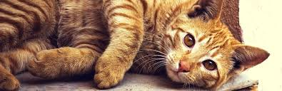 Drontal Feline Dosage Chart Drontal For Cats Uses Dosage And Side Effects My Pet