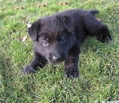 baby black german shepherd. Exellent Shepherd Baby Hurley Intended Baby Black German Shepherd O