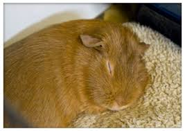 Guinea Pig Urine Chart 5 Common Mistakes Guinea Pig Owners Make Pethelpful
