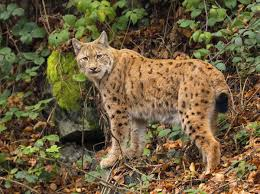 lynx size fabulous facts about the highly intelligent highland lynx cat