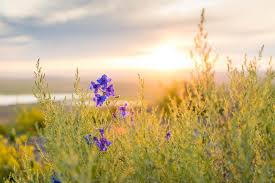 tall grass field sunset. A Plant With Purple Flowers In Tall Grass During Sunset Field N