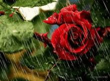 roses red rose gif roses redrose beautiful gifs