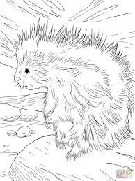Small Picture Cute North American Porcupine coloring page Free Printable