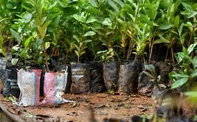 Yes No Its Complicated Is Planting Saplings A Solution To The