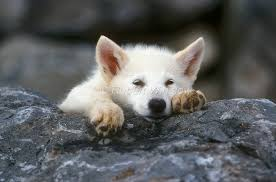 pure white wolf pup. Contemporary Pup Young Arctic Wolf Pup Canis Lupus Arctos Controlled Conditions In Pure White Pup O