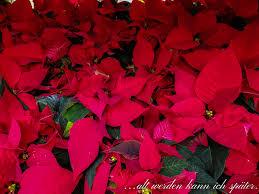 Weihnachtssterne Alt Werden Kann Ich Später