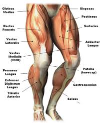 Upper Leg Muscles Common Names Archives Anatomy Body