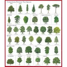 Oak Tree Comparison Chart Abdel Abdelplatipus On Pinterest