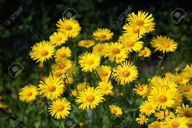 doroni yellow flowers in the garden in spring stock photo 9250721